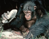 chimp knapping