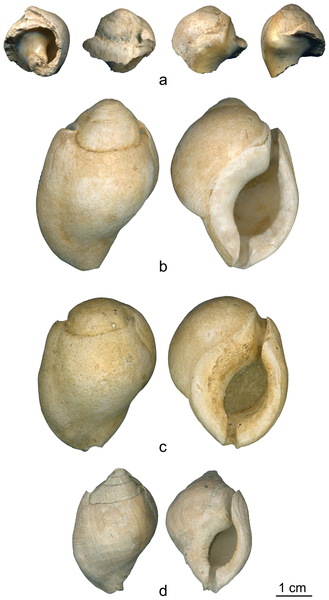 The broken Aspa marginata shell (a) from the Mousterian stratigraphic Unit A9 of Fumane Cave and three complete natural fossil shells (b–d) of the same species from Pliocene deposits close to Asti, Piemonte region, Italy. doi:10.1371/journal.pone.0068572.g003