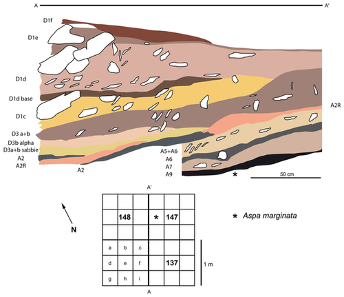 Stratigraphy of the Fumane Cave sequence in squares 137-147